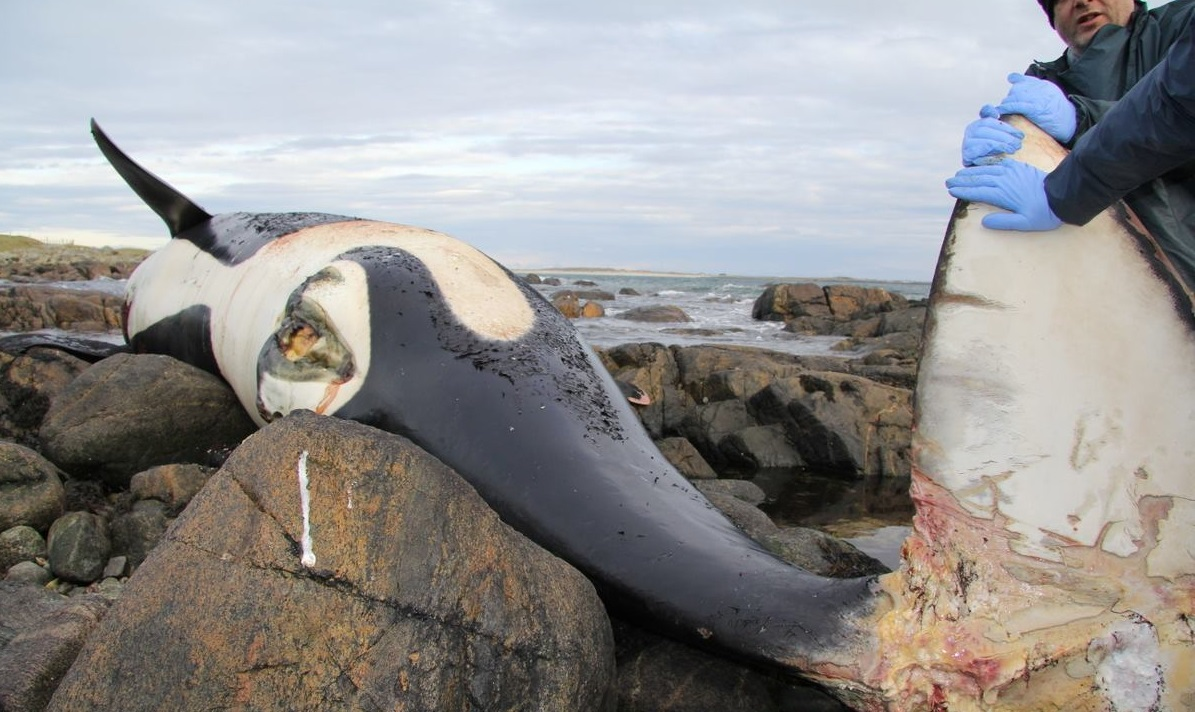 Dead orca 1