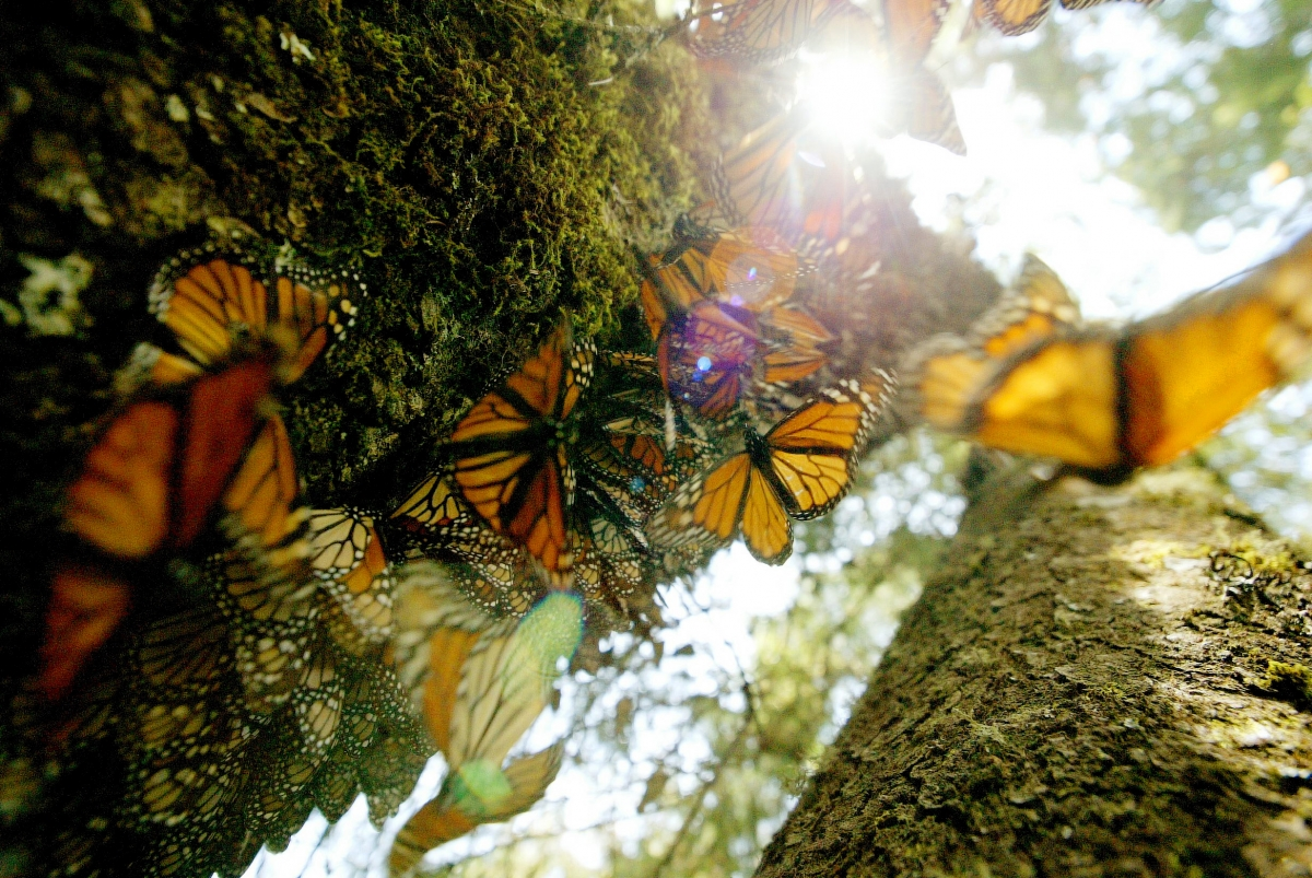 Google's first doodle of 2016 celebrates monarch butterflies