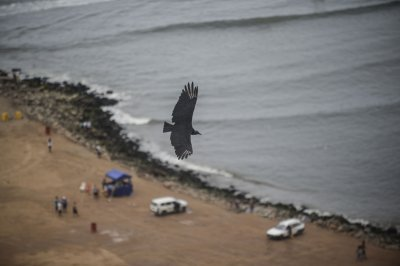 Vulture in Lima
