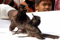 Bulbul fight in Assam