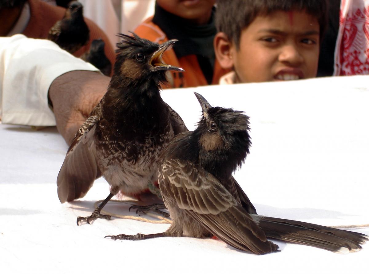 Bulbul fight in Assam