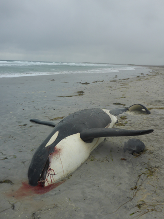 Scottish orca stranded