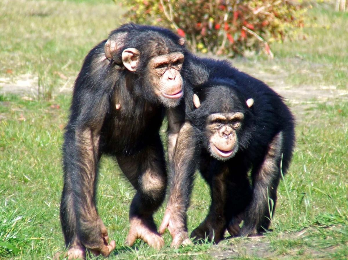 Chimp friends