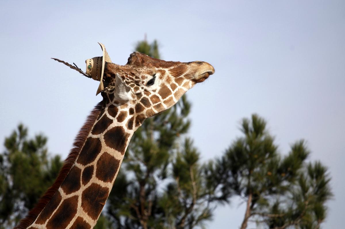 Giraffes in DRC