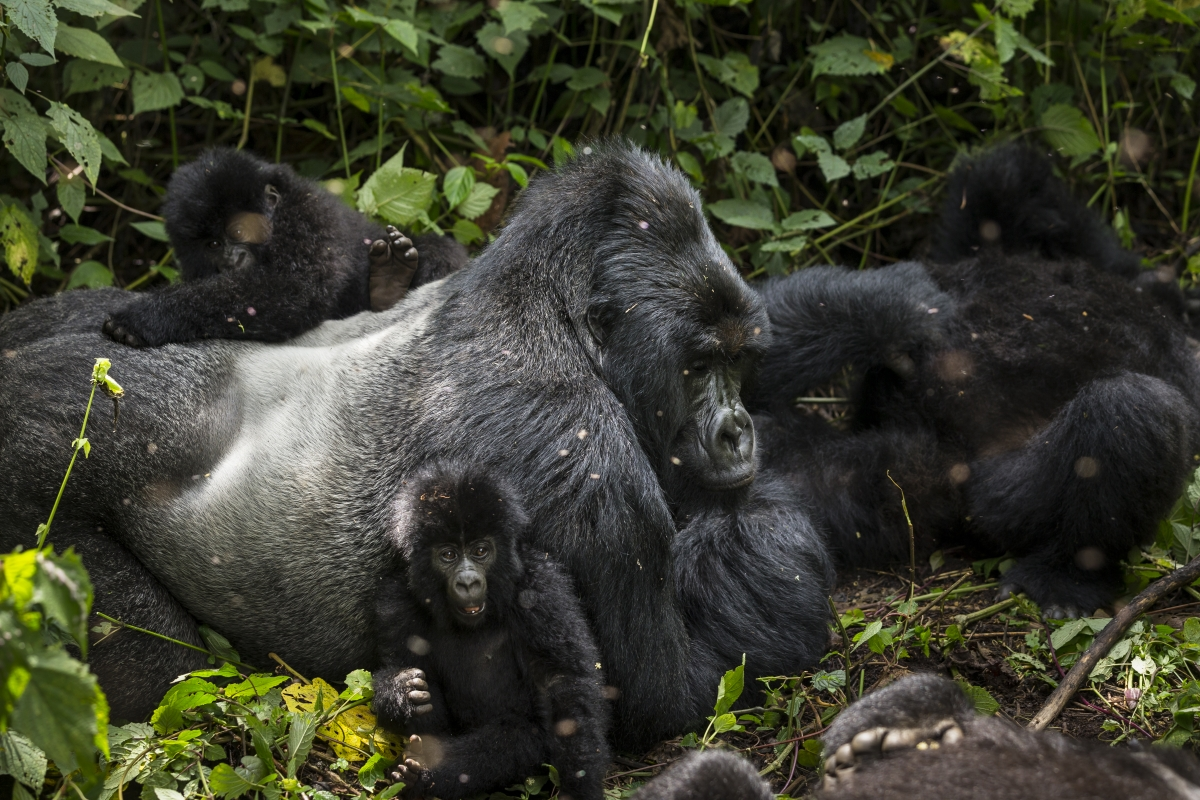 Virunga mountain gorillas