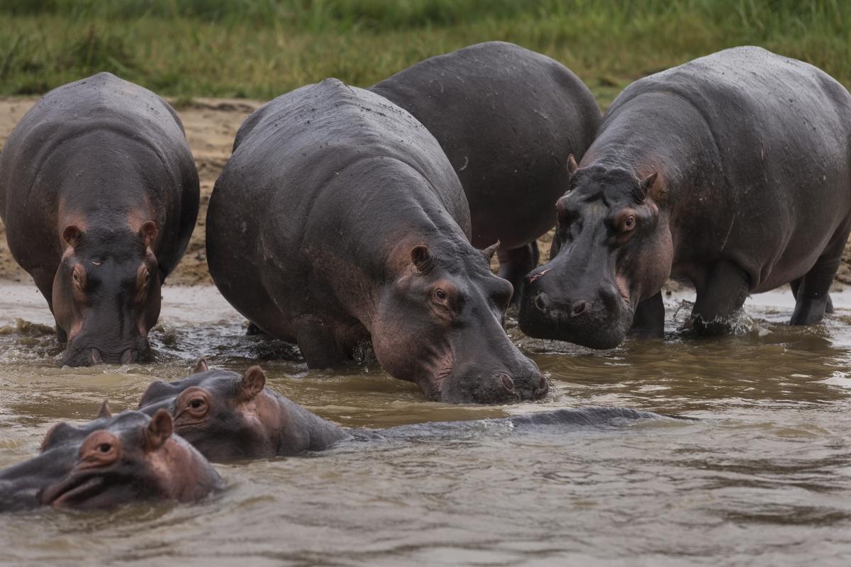 Virunga hippopotamuses