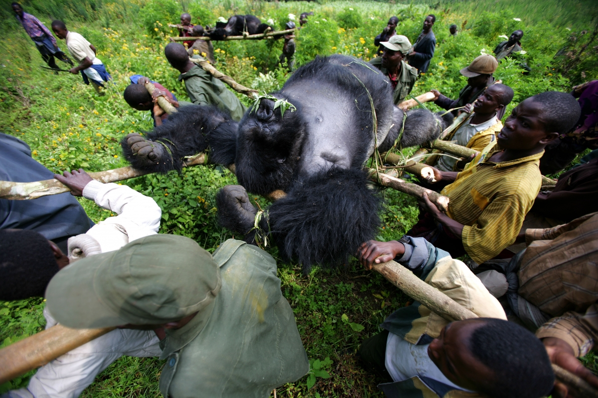 Virunga poaching