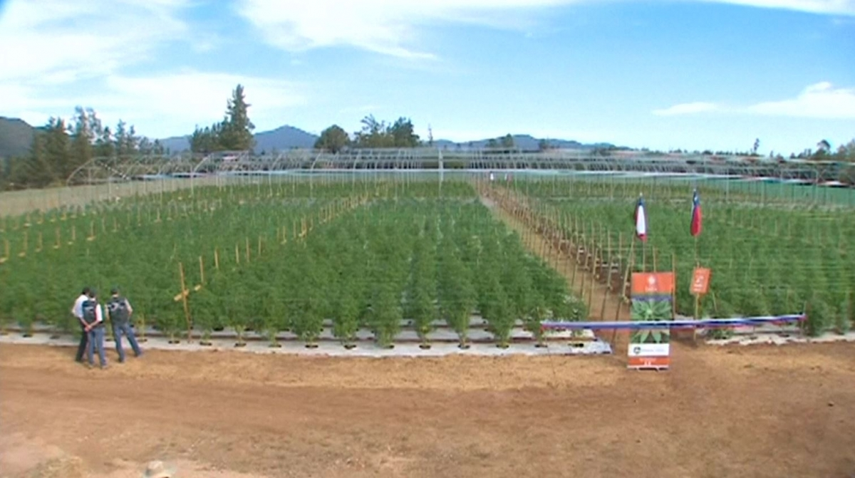 Medical marijuana farm in Chile