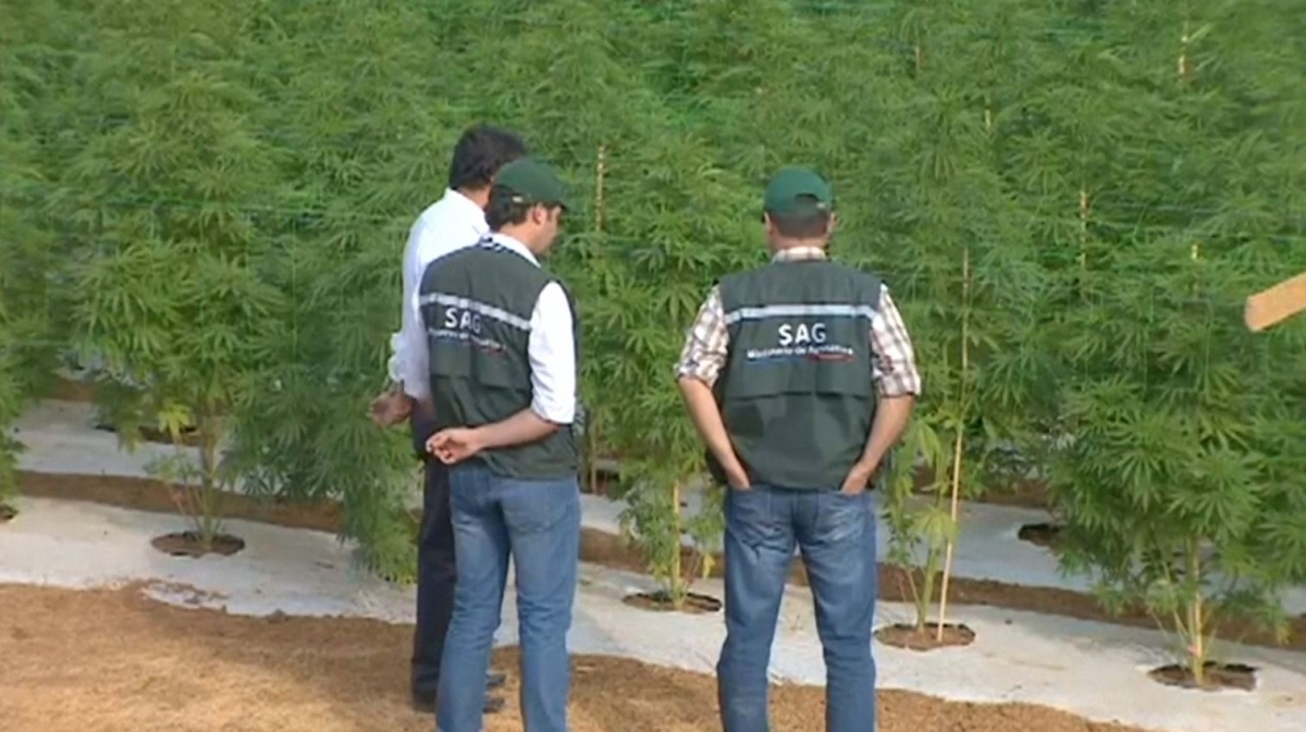 Chile marijuana farm