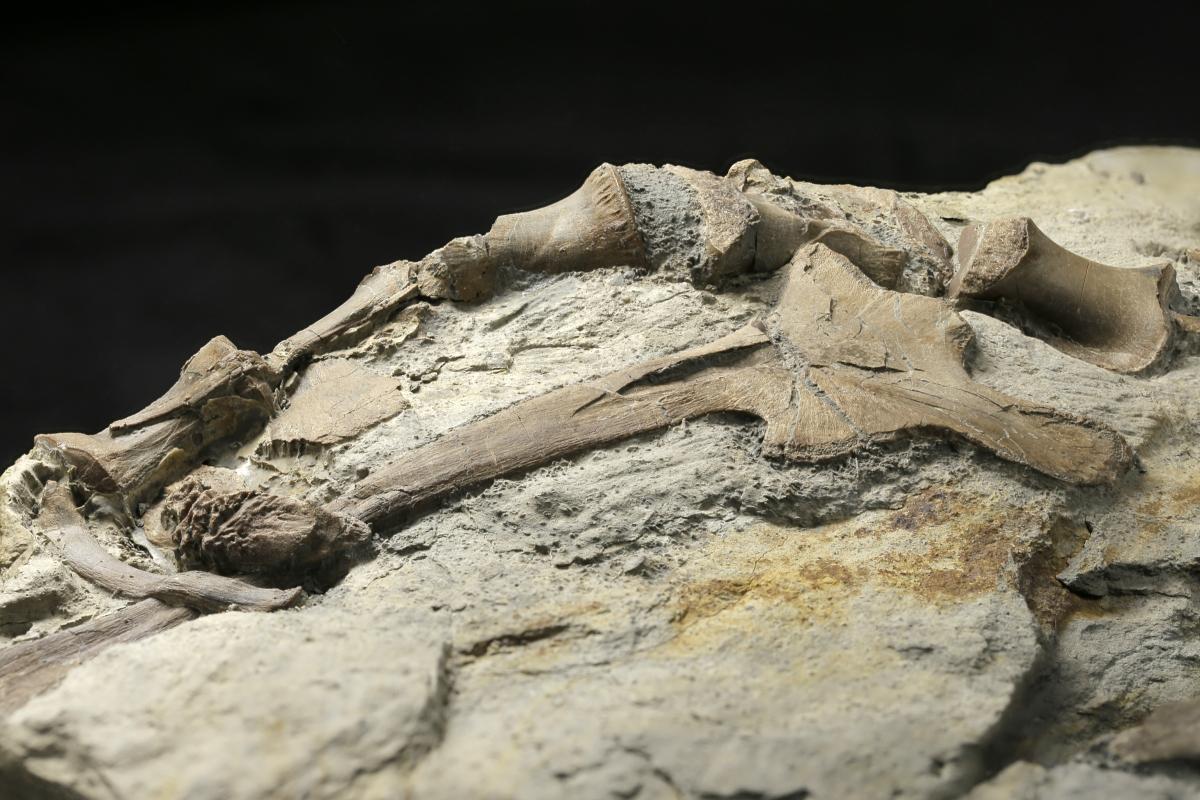 Hip and vertebrae of dinosaur