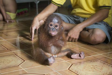 Joss the orangutan