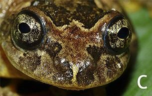 tree frog Frankixalus