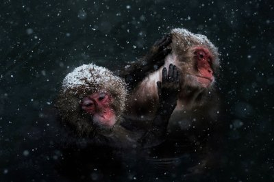 Japanese wild monkeys