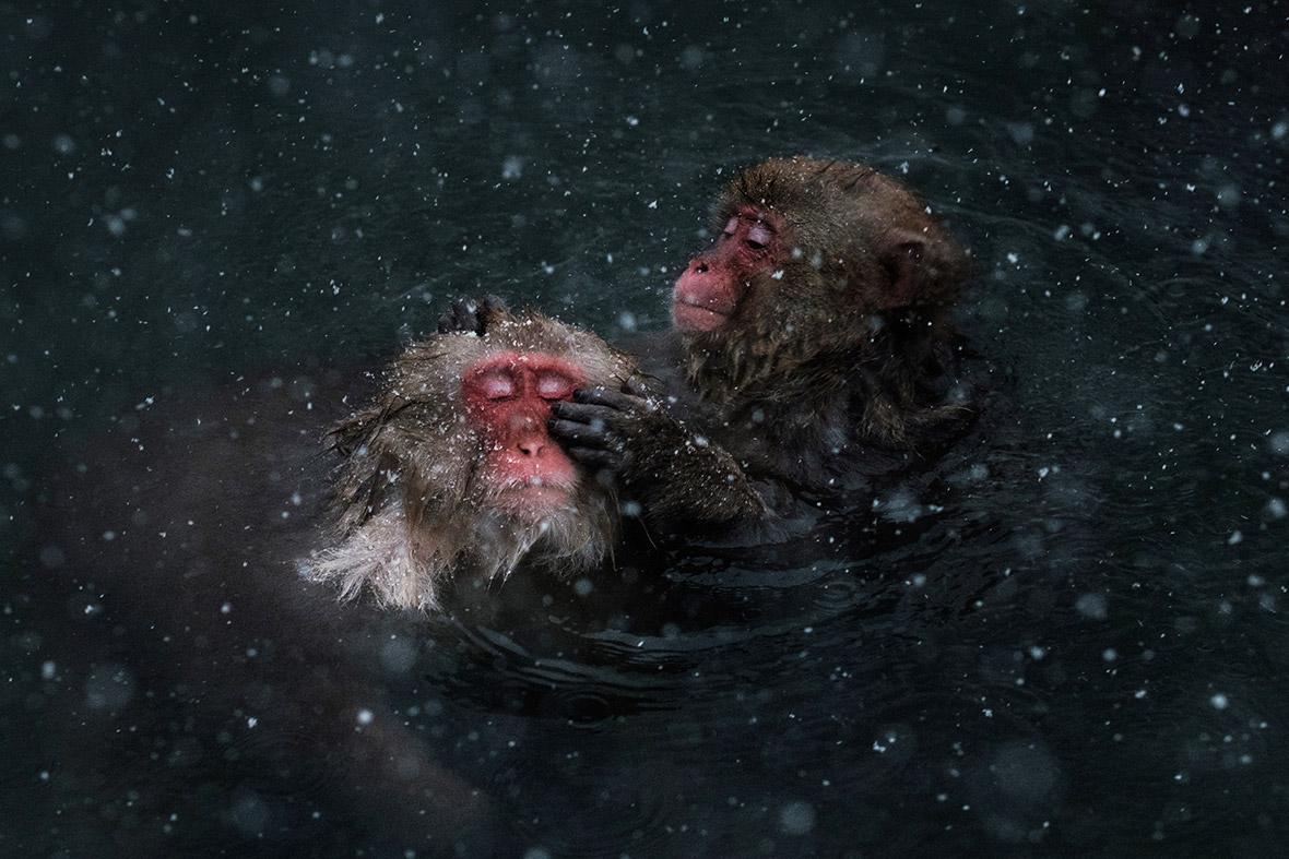 Japanese wild monkeys