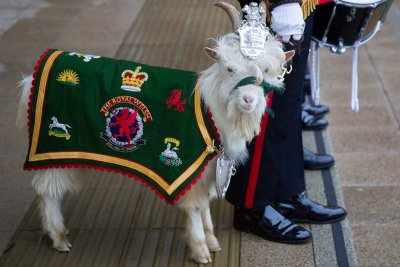 Royal Welsh regimental goat Fusilier Llywelyn
