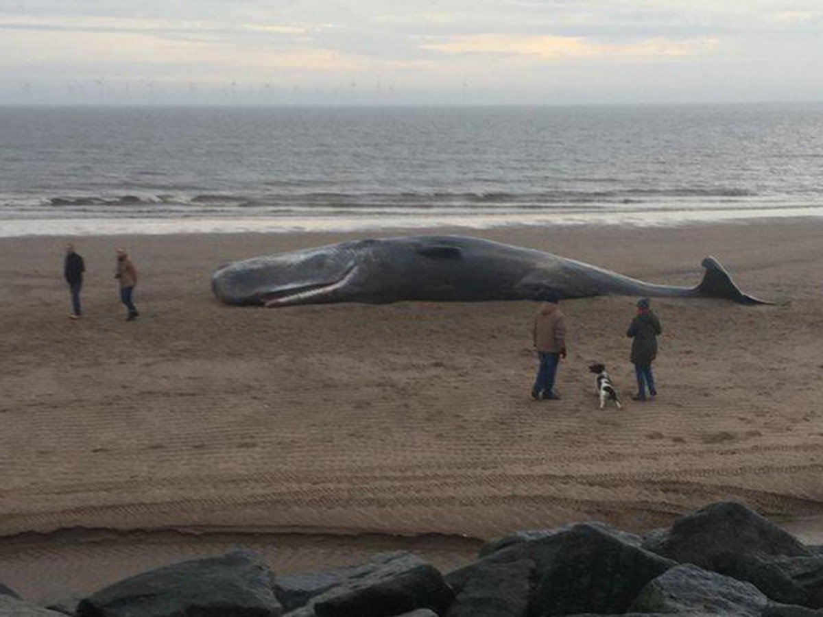 beached sperm whale found