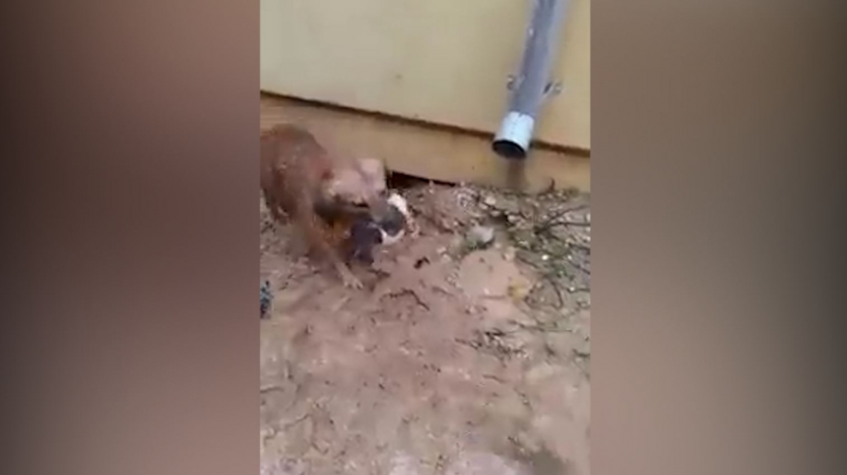Mother dog saves drowning puppies