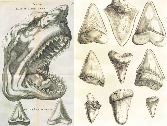 Woodcut from Niels Stensen megalodon