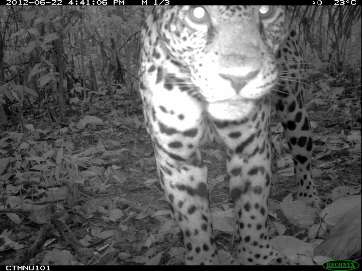 Jaguar selfie