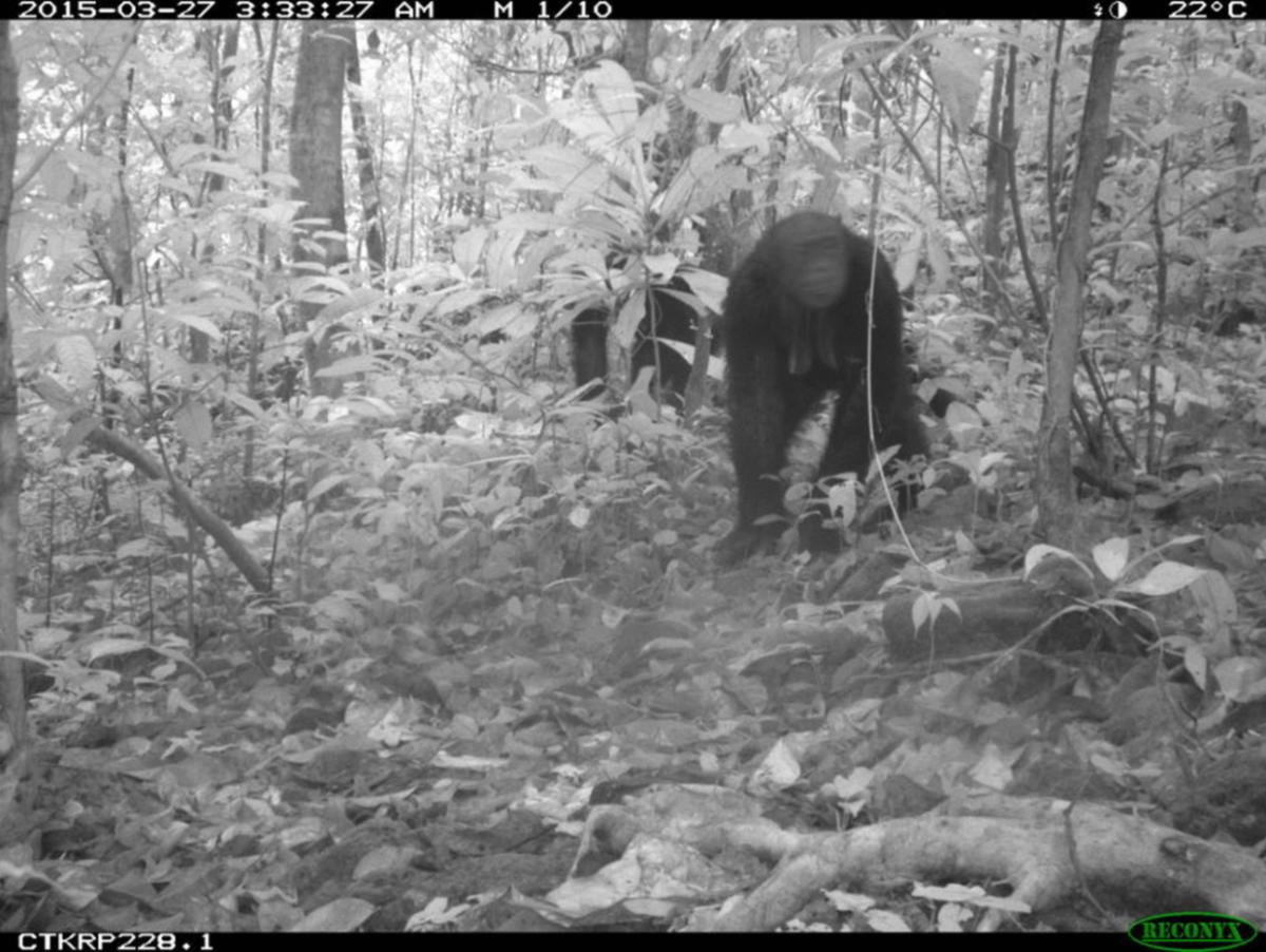 Chimpanzee selfie