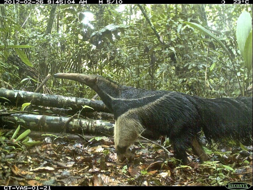 Anteater selfie