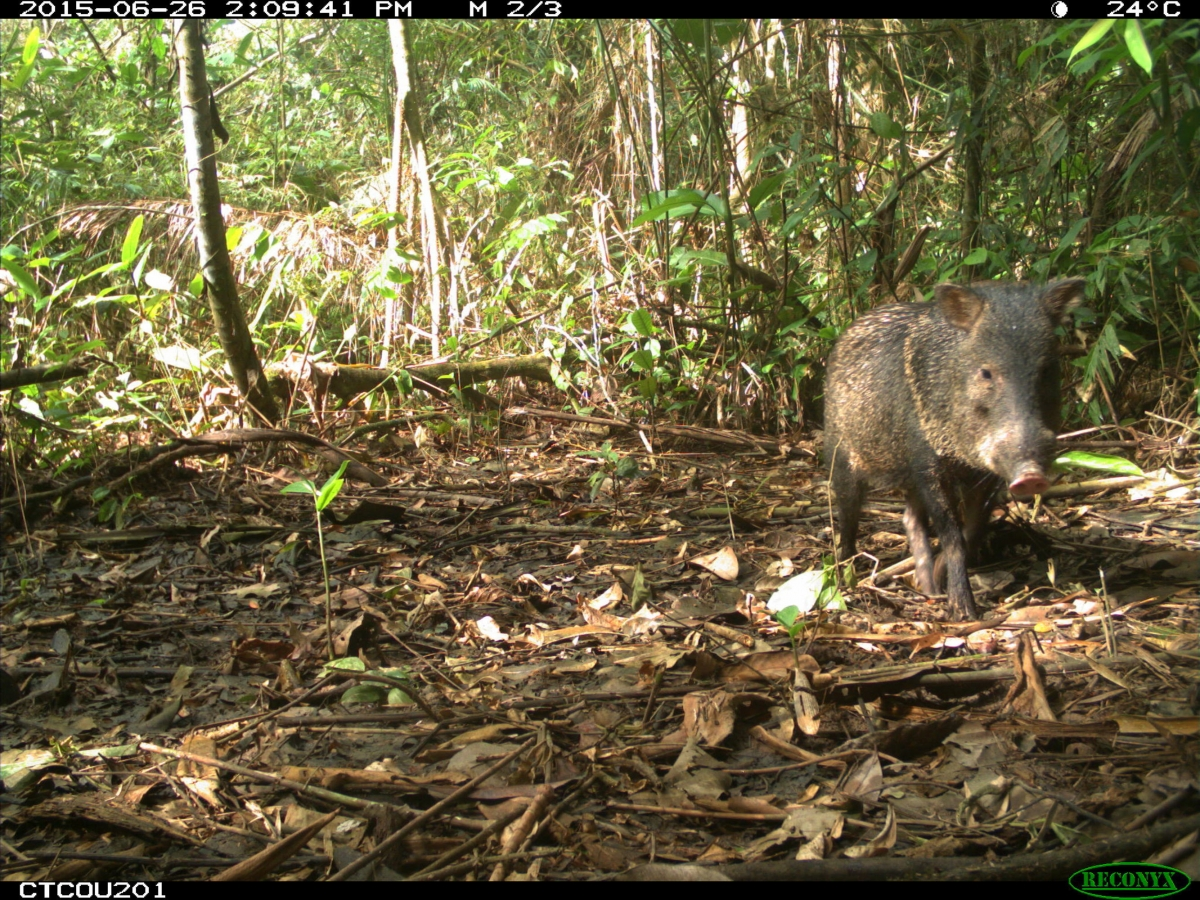 Collared peccary selfie