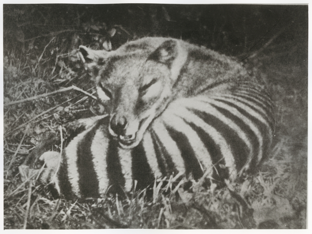 Tasmanian tiger: Sightings and facts about 'extinct species'