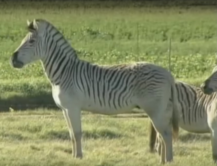 Once-extinct zebra-like 'quagga' brought back to life in ...