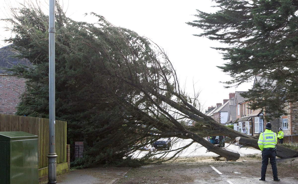 Wind blows tree over