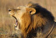 Ethiopia lion population
