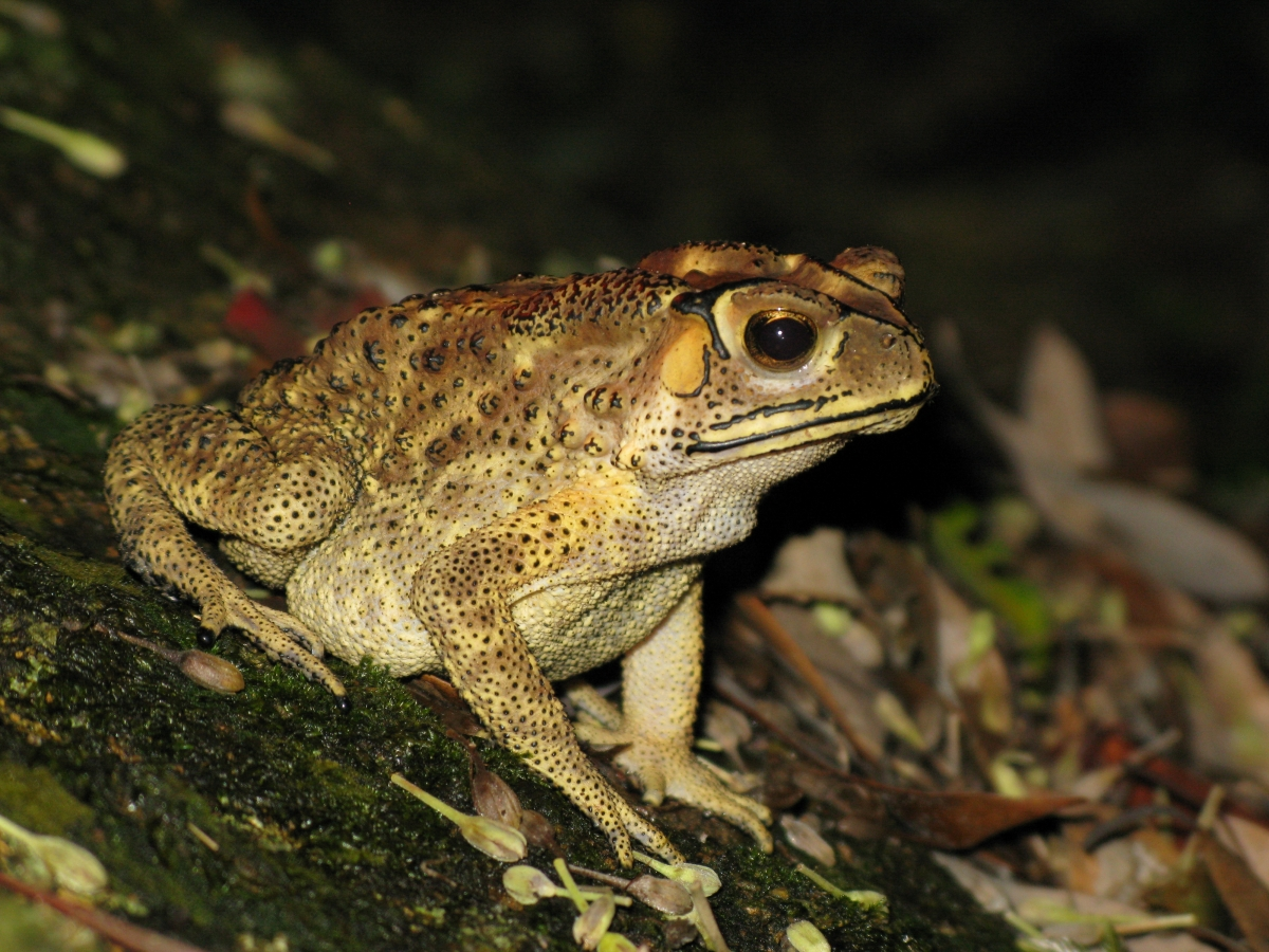 Asian Toad