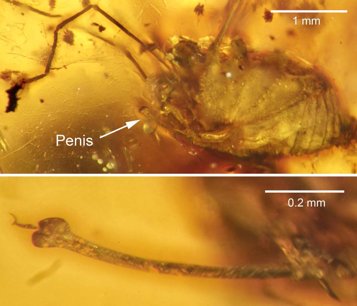 Spider penis