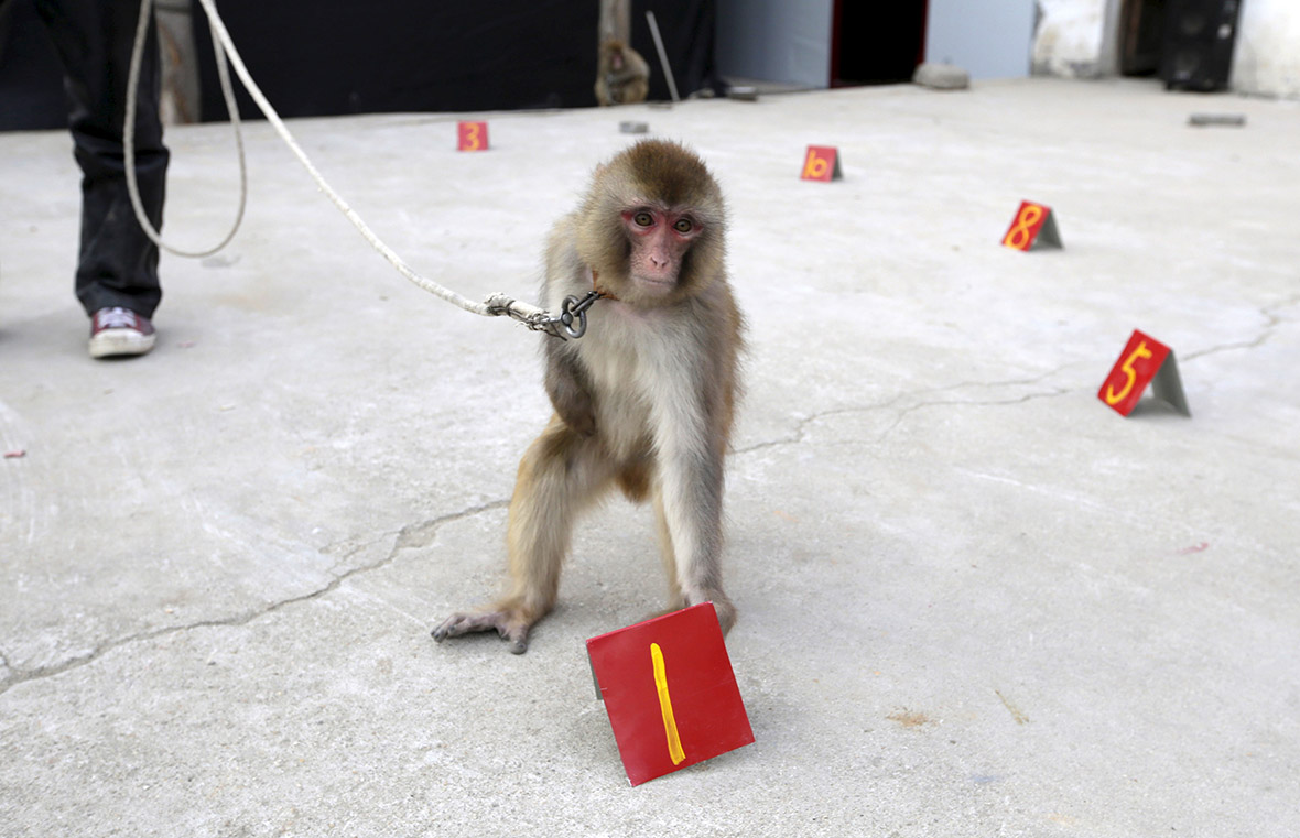 monkey training Lunar New Year