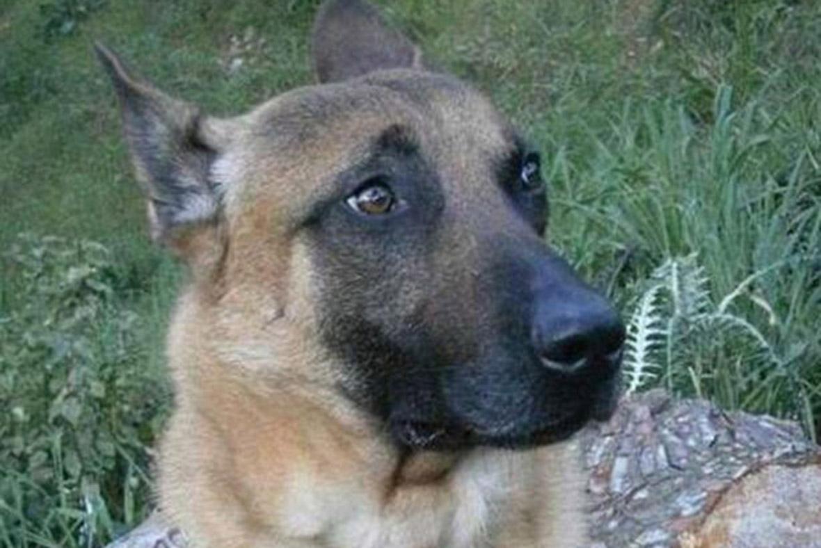 Hero dog Diesel