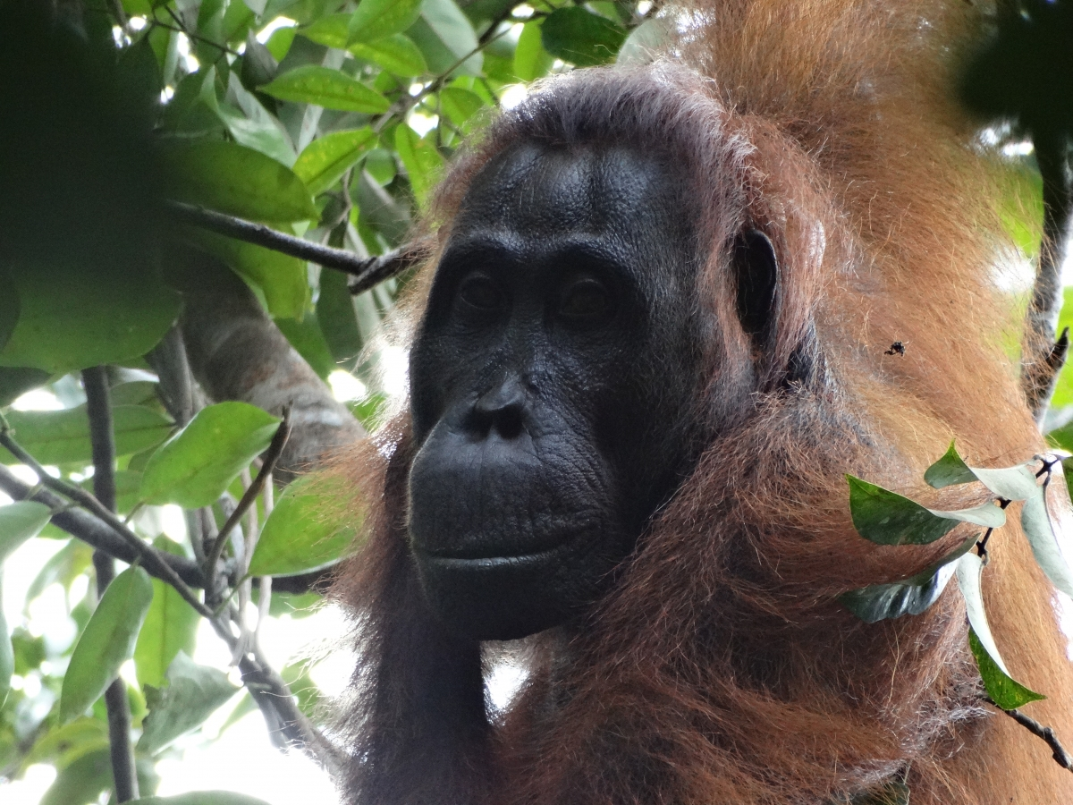 sidonay murdered orangutan