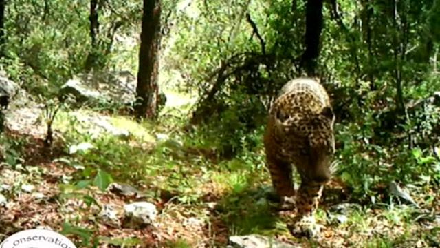 El Jefe the jaguar