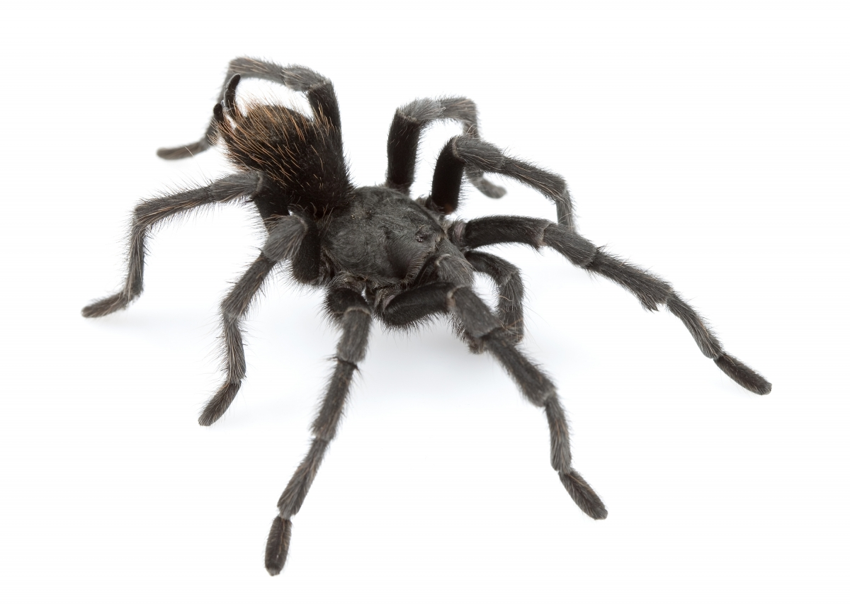 Ok, cure me please: SPIDERS! - Page 8 Aphonopelma-johnnycashi