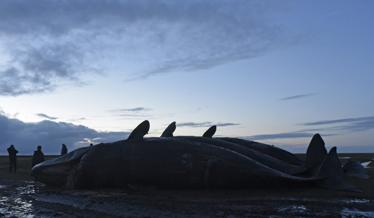 whale beaching stranding 2016
