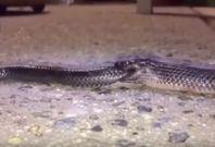 cannibal snake Toowoomba