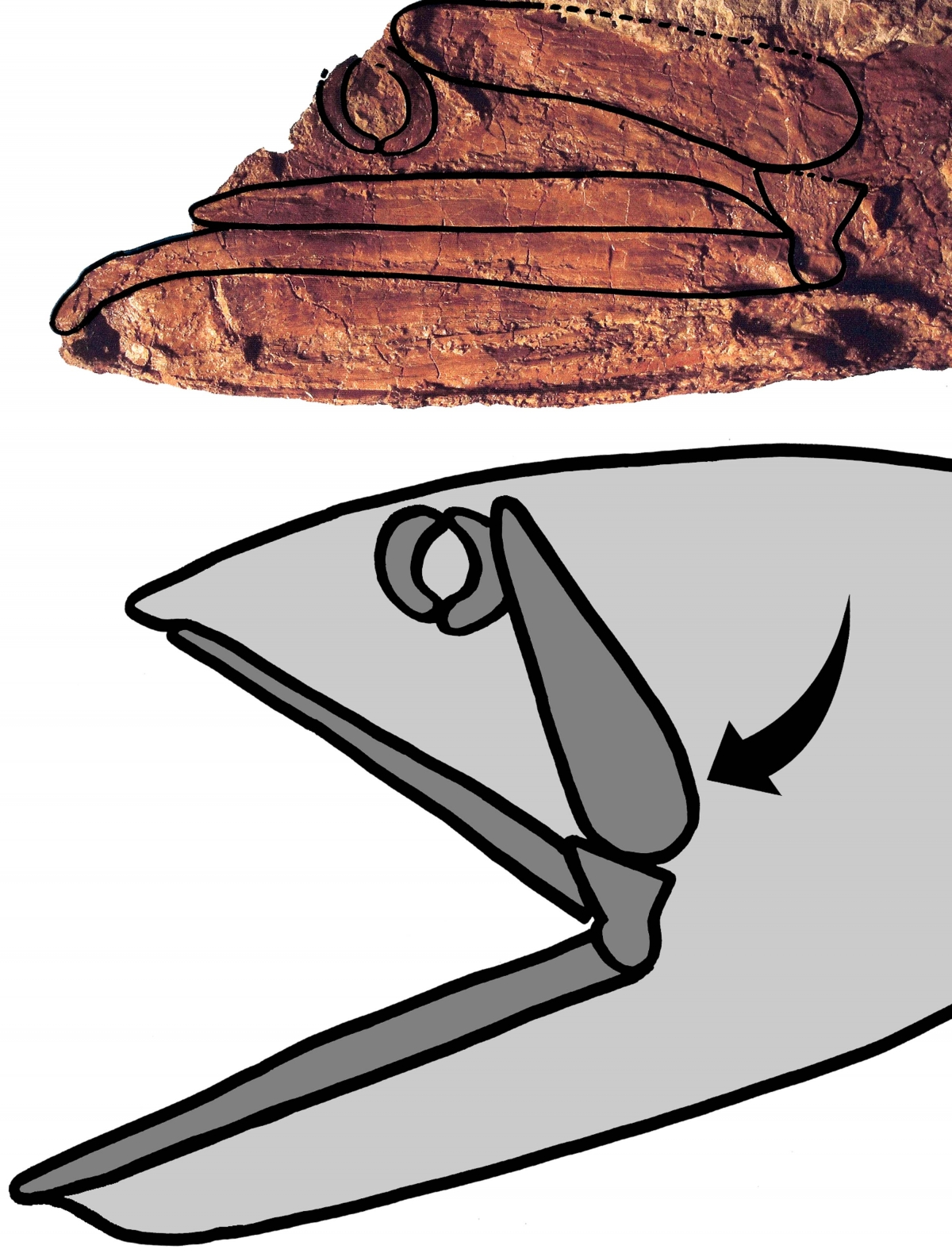 Rhinconichthys