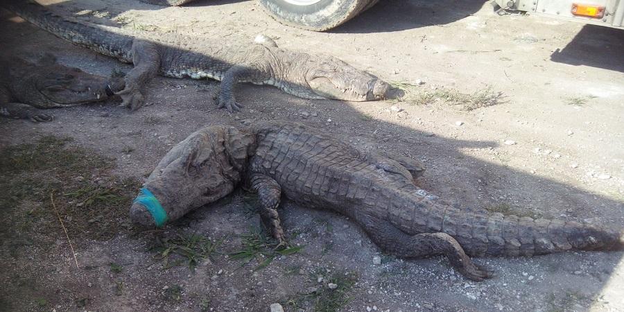 Mexico crocodiles