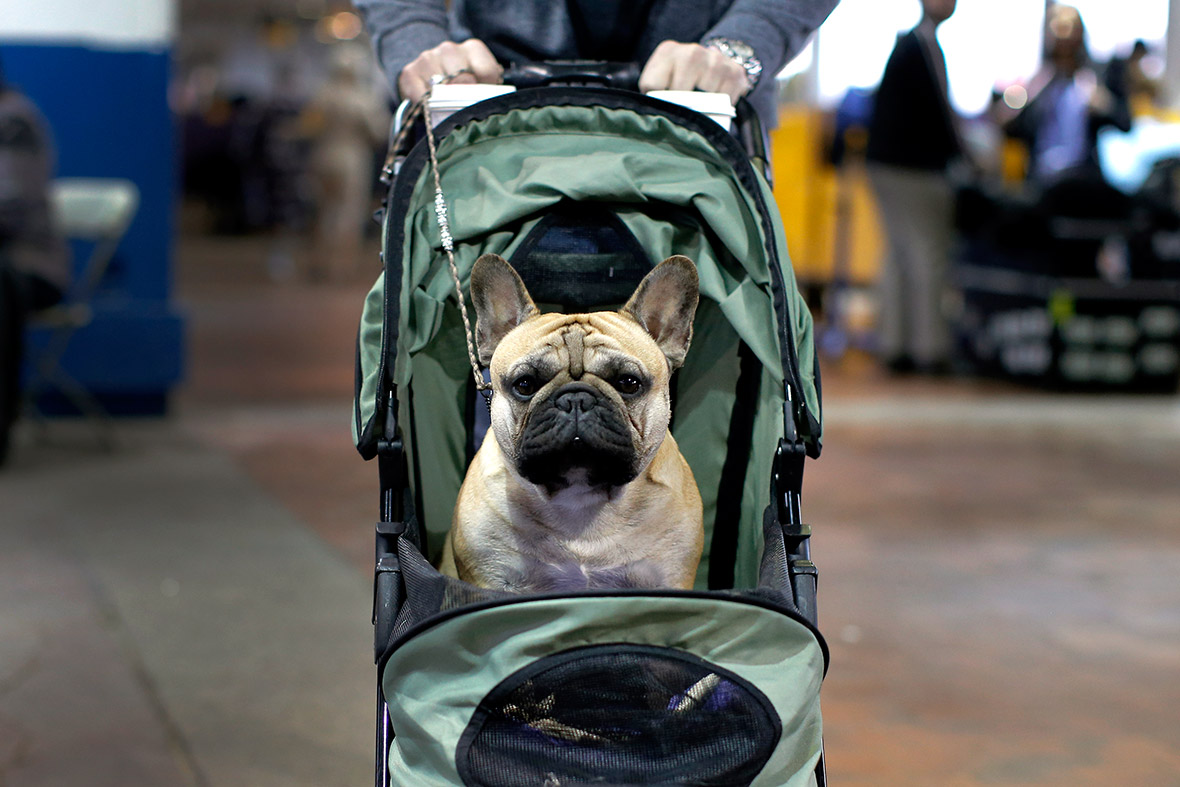 Westminster Kennel Club dog show 2016