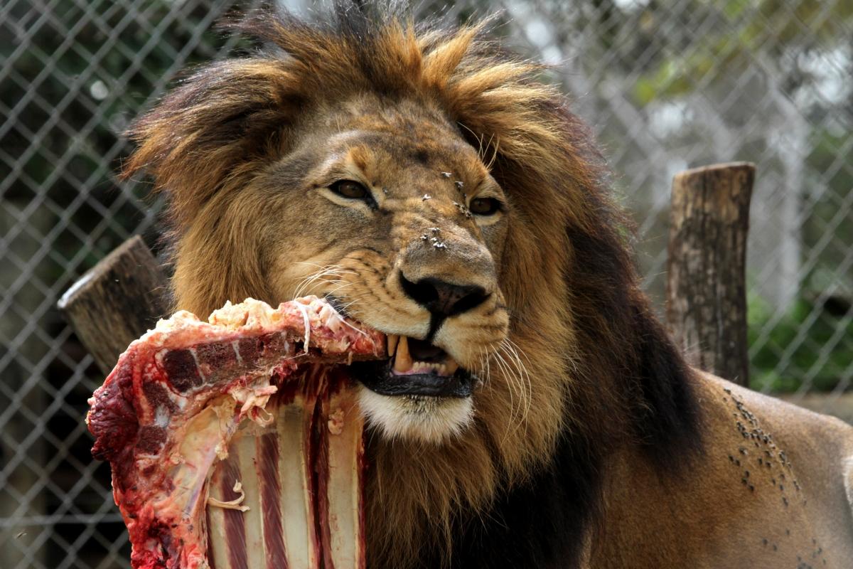 A lion feeds