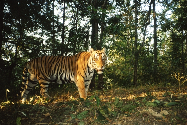 tiger southeast asia