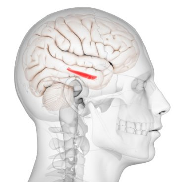 hippocampus brain