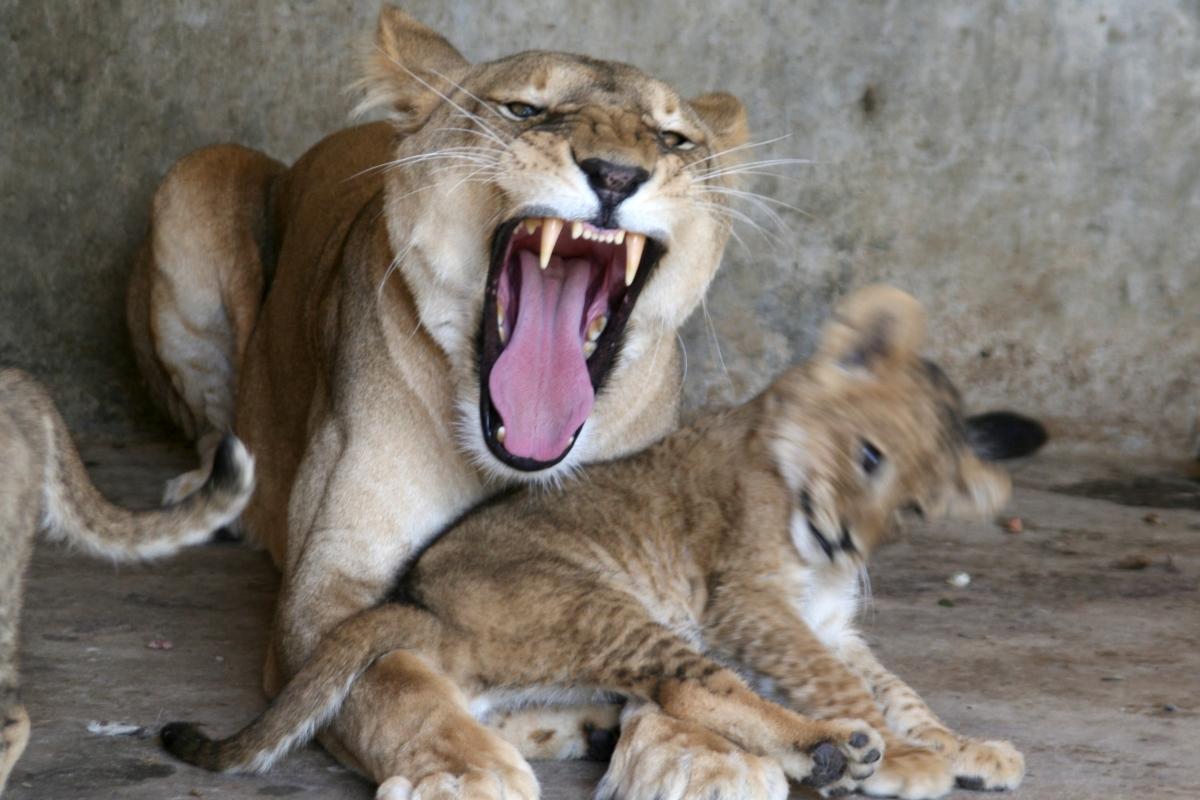 Taiz zoo, lions
