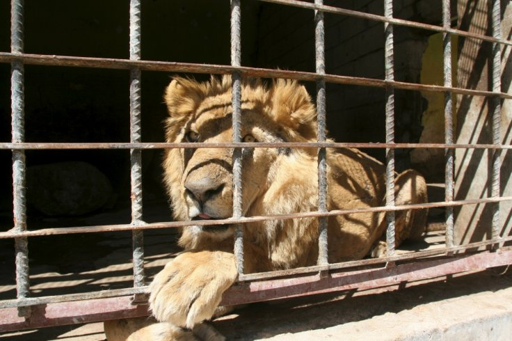 Lion, Tiaz zoo