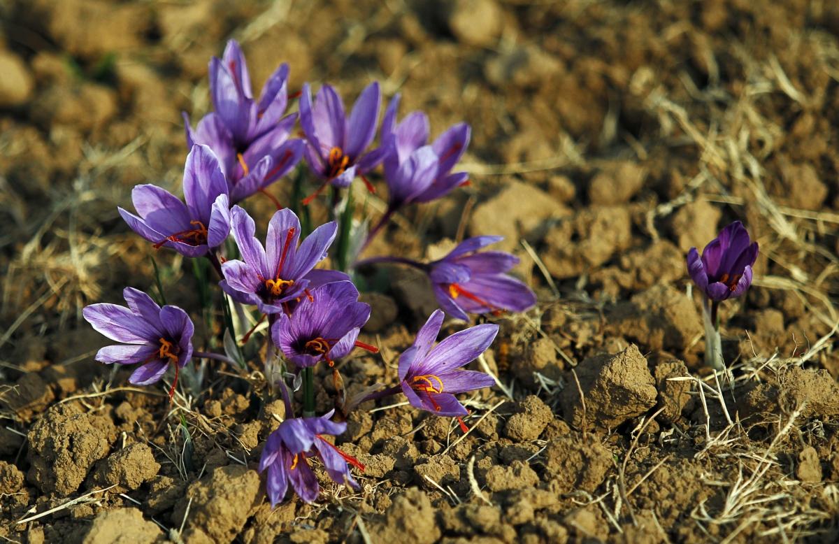 Afghan saffron production
