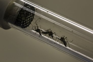 mosquito yellow fever