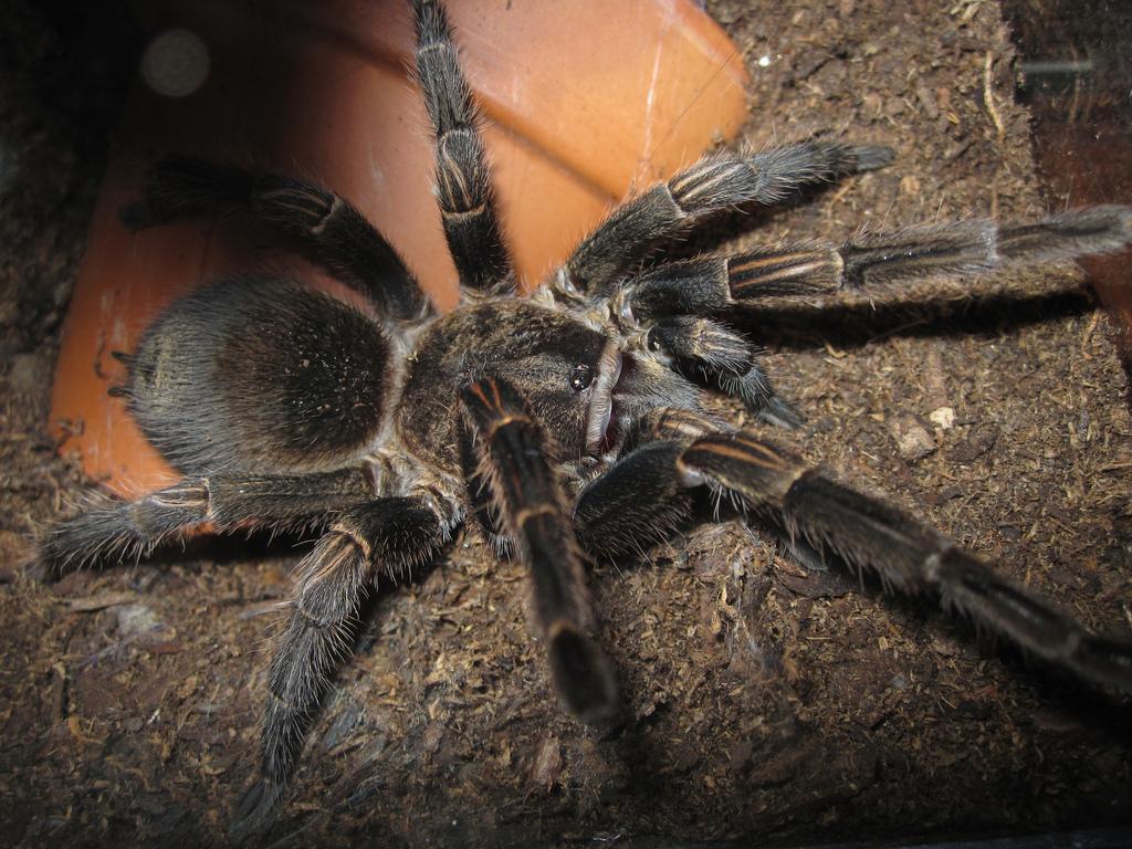 Peruvian green velvet tarantula